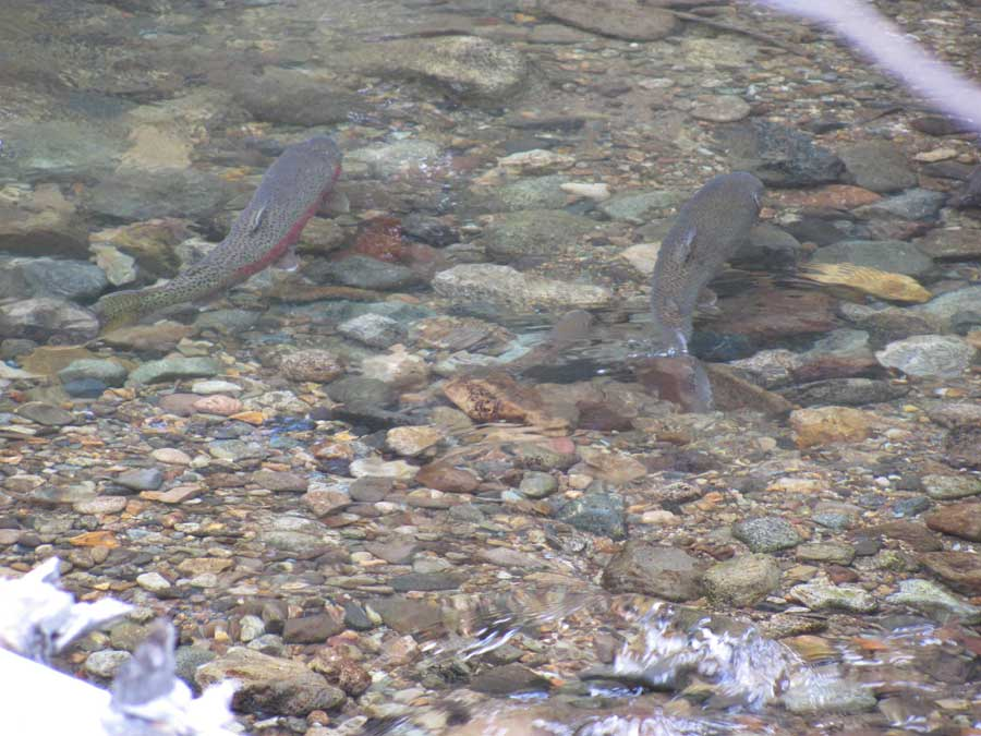 Fish in Yakima River Basin Stream