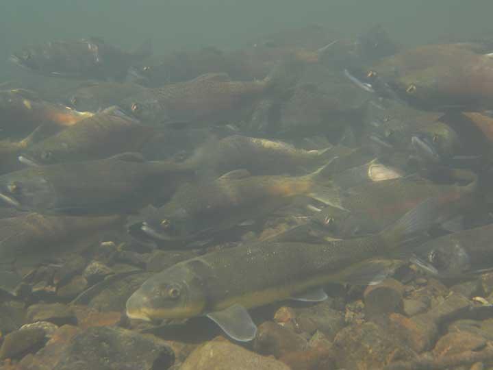 Coho Salmon spawning in Yakima Basin Stream